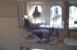 trapping racing pigeons