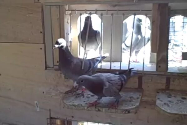 "Trapping Racing Pigeons – ""The race isn't over until the bird is clocked."""