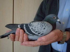 Properly Managing a Pigeon Racing Team
