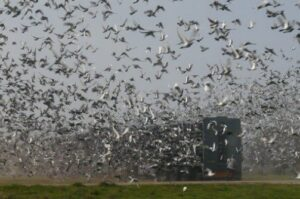 Pigeon Racing - The Pro's and Con's of Combines