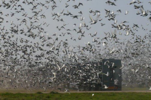 Pigeon Racing – The Pro's and Con's of Combines