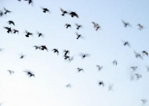 pigeon racing - the decline of long distance racing