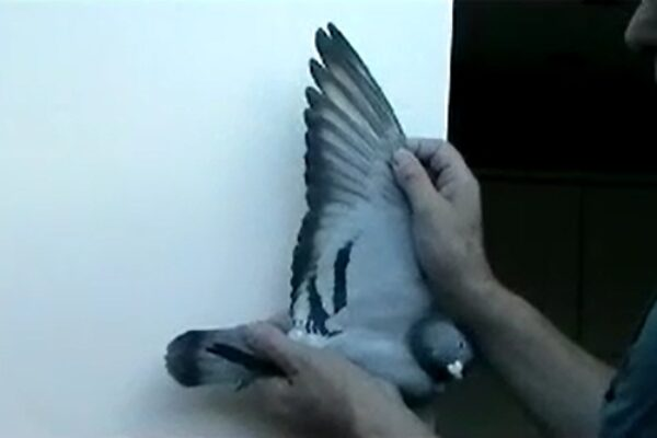 *Video* How to Judge a Racing Pigeons Distance Ability