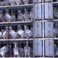 Largest Release in Romanian Pigeon Racing History The first race of the 2012 Romanian season had the biggest number of pigeons in a single release in the history of Romanian pigeon […]