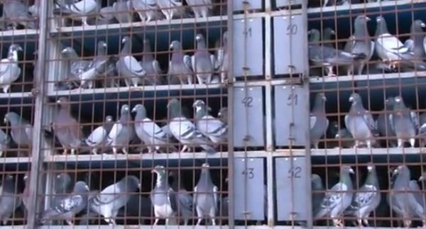 *Video* Largest Release in Romanian Pigeon Racing History – 42,800 Birds!
