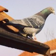 Racing Pigeons on The Celibacy System It's hard to find information on a true celibacy system.    When one thinks of widowhood, dual widowhood and the natural system, you will […]