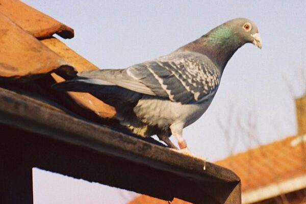 Racing Pigeons on The Celibacy System