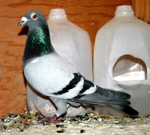 racing pigeons medicating no nos