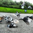 Compass Training Racing Pigeons Continued Step One: Train your birds along the line of flight to a desirable distance such as 50-100 miles. Train them out in increments that you […]