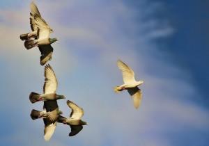entrenamiento de carreras de palomas