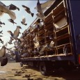 Training Your Racing Pigeons to Break What is breaking? Breaking is when a bird separates from a flock and heads out on his own course. If you observe a flock […]