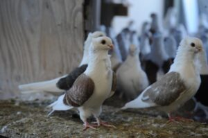 New York Pigeon Racing Heritage 5