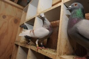 New York Pigeon Racing Heritage 6