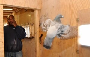 New York Pigeon Racing Heritage 8