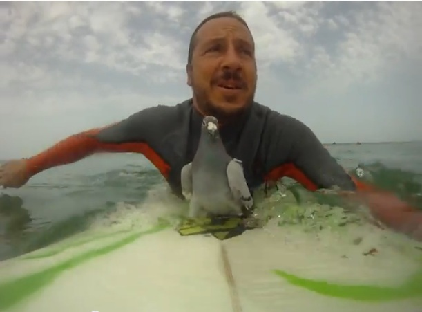 *Video* A Surfing Racing Pigeon… Seriously!