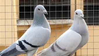 Breeding Racing Pigeons: Methods of selecting breeders