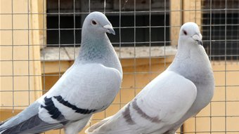 Racing pigeons breeding methods - photo#1