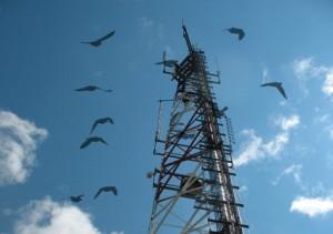 Phone towers killing pigeons