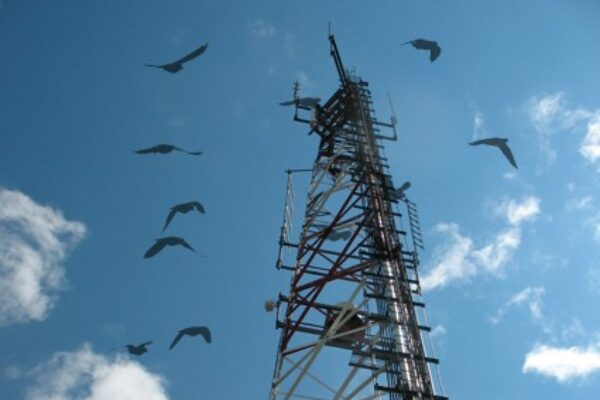 Are Mobile Phone Towers Pigeon Killers?