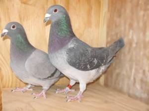 Creating sports when breeding racing pigeons