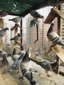 intesive breeding for racing pigeons