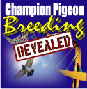 Champion pigeon breeding revealed.