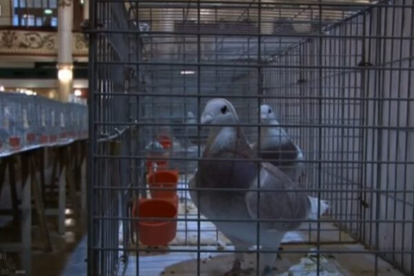 **Video** Can GPS trackers save pigeon racing?