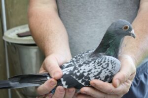 the pigeon racing bull system
