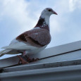 Pigeon Racing; What Make's a Champion? Ever since becoming interested and falling in love with the wonderful world of pigeon racing I have always wondered what the secret was, what […]