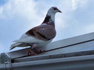 the secret to pigeon racing