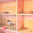 "Pigeon Racing and The Importance of Nest Boxes by Dr. John Lamberton One of the most important ""triggers"" of the homing instinct in  high quality racing pigeons is the type […]"