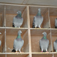 The Problem With Flying Hens by John Lambrechts – Jules Gallez (PIPA) Hens can compete against widowers in the most demanding long distance races. Victor Eerdekens from Limburg proved that […]