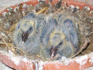 Racing pigeon babies