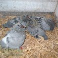 Summer Youngsters: A Blessing for the Patient Fancier by Verheecke Marc – Degrave Martin (PIPA) Most fanciers are not fond of breeding pigeons in summer: they breed two or maybe […]