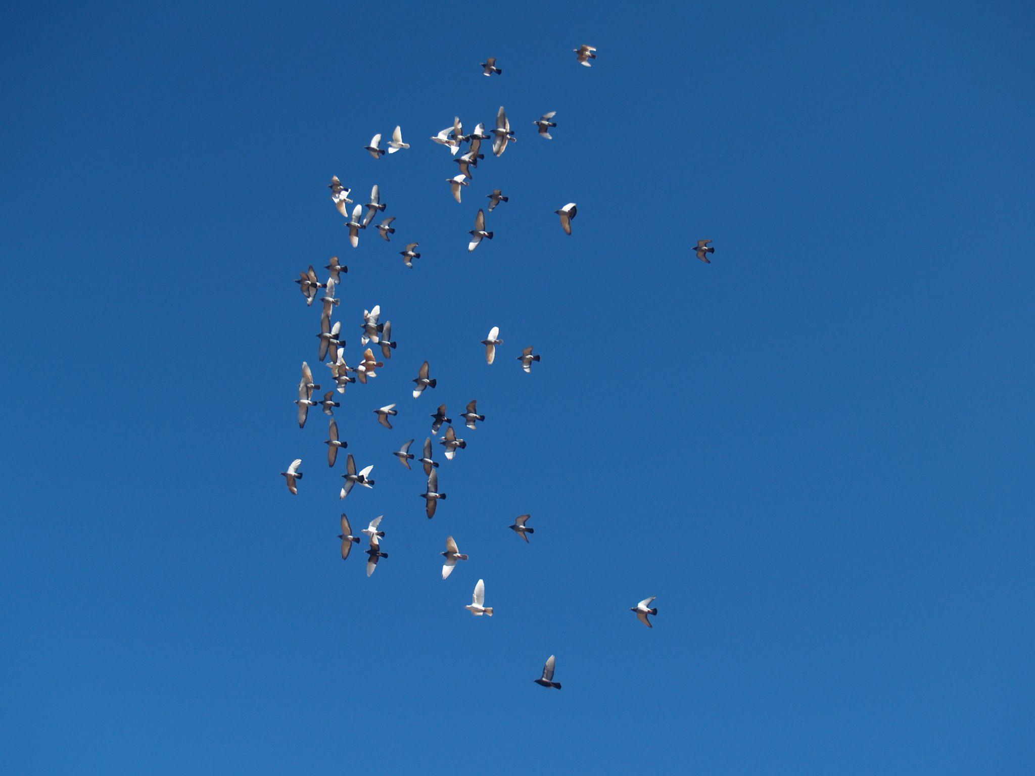 Racing pigeons breeding methods - photo#53