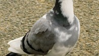 Long Distance Pigeon Racing Takes Patience One of the basic principles of long distance racing is that you need a lot of patience. There are different long distance breeds that […]