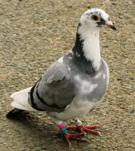 long distance racing pigeon