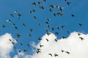 methods of racing pigeons