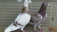 How to Train and Handle Your Racing Pigeons The Right Way by Theunis F – Gallez Jules – Degrave Martin (PIPA) The training of a pigeon starts the moment it […]