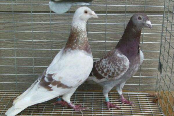 How to Train and Handle Your Racing Pigeons The Right Way