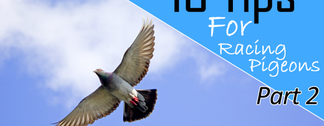 Tips For Racing Pigeons Part 2 We had a great response to the first set of 13 tips for racing pigeons, if you missed that post you can check it […]