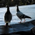 Letting your pigeons go outside the loft for the first time. A few helpful tips for those releasing your pigeons for the first time. It can be scary when letting […]