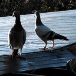 Pigeon loft flying basics