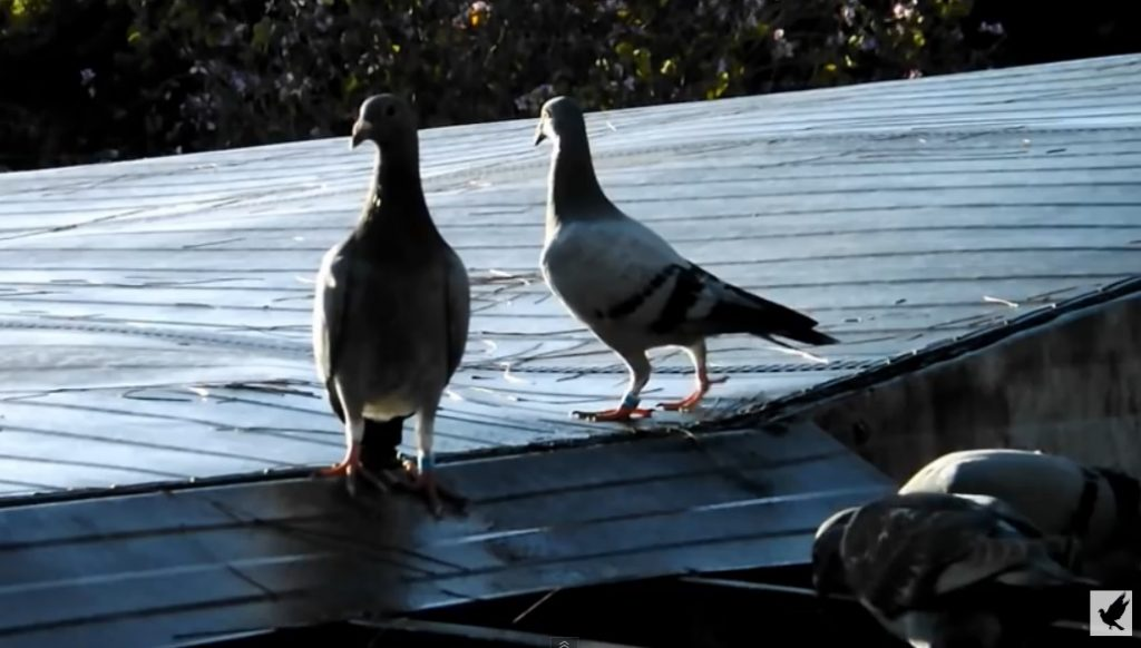 *Video* Letting your pigeons go outside the loft for the first time.