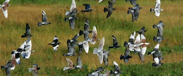 Breeding Racing Pigeons is Easy by Dr. Wim Peters Get two pigeons, one of either gender, provide them with a loft, nesting material and a secluded spot and before long, […]