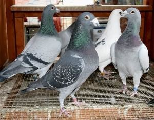 How to Pair Racing Pigeons for Breeding