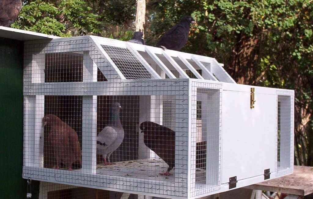 Medicating, Feeding and Training Racing Pigeons for Racing