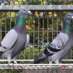 Keeping racing pigeons healthy Tom DeMartino