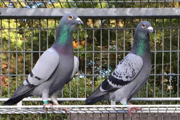 A Simple Plan to Keeping Your Racing Pigeons Healthy