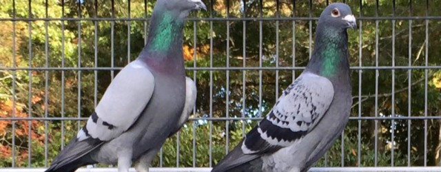 I have raised pigeons for over 55 years. So what I'm about to lay out for you comes from years of experience breeding and racing pigeons. Many of you will […]